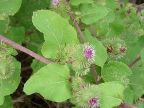 Au Natural Factual: Burdock Root